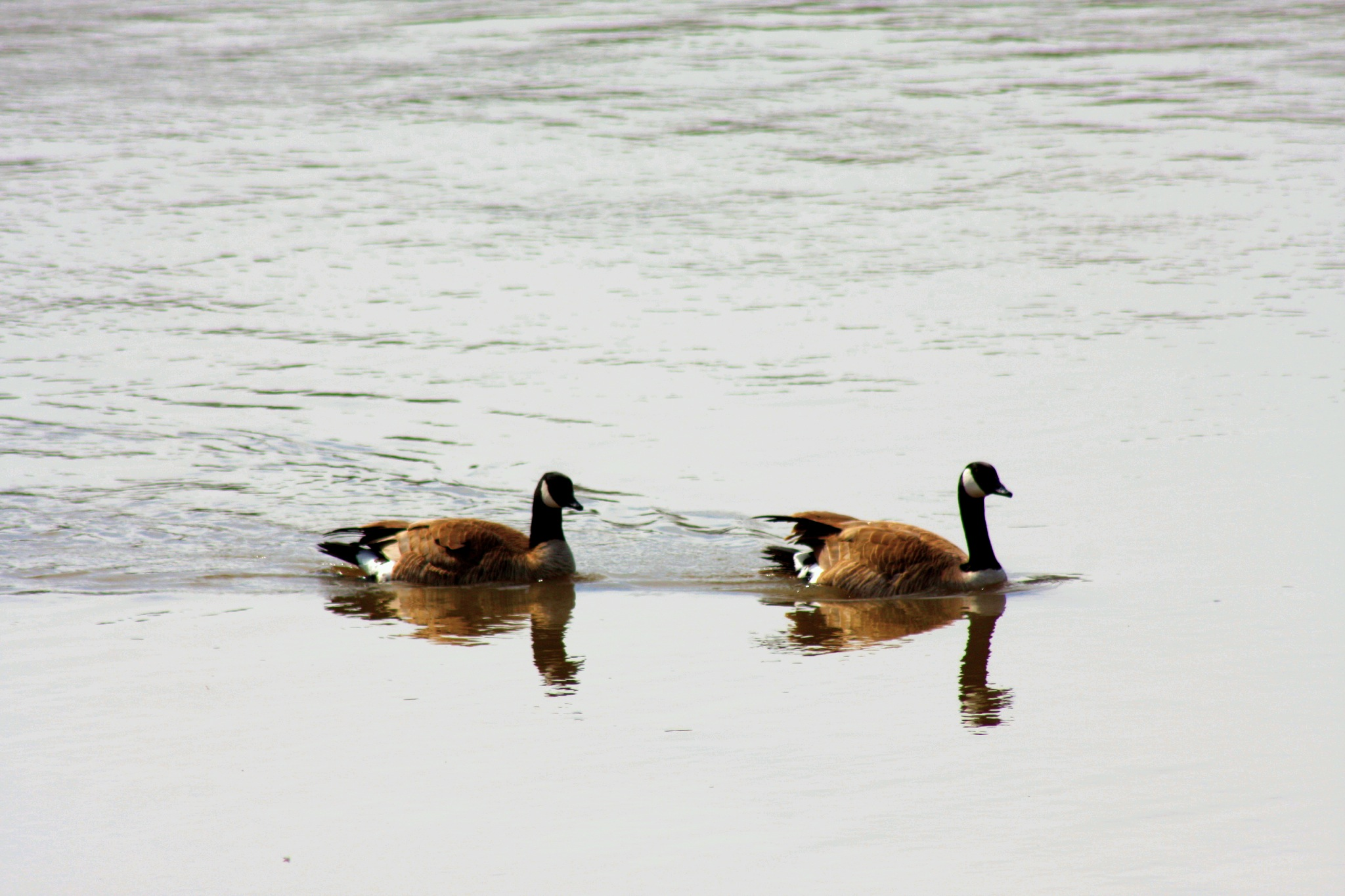 Geese Swimming On The River